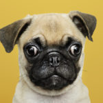 asx-nvl-national-vet-care-share-price-Adorable Pug puppy solo portrait